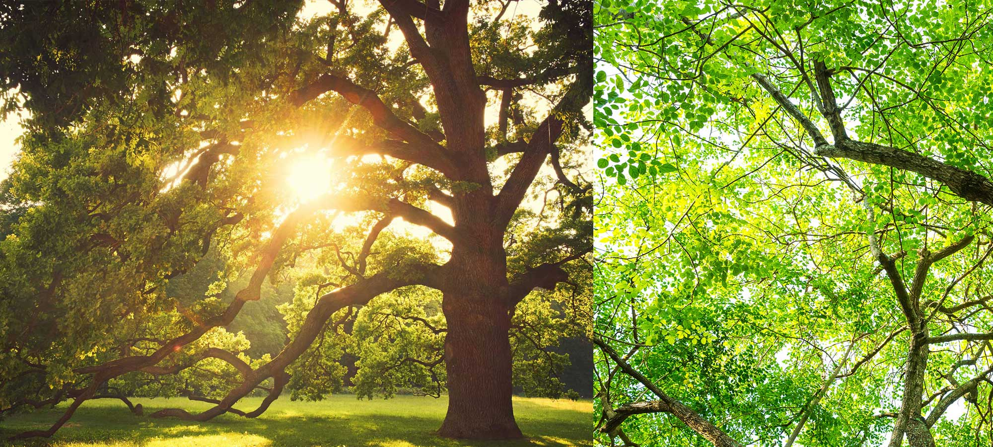 arbre mature