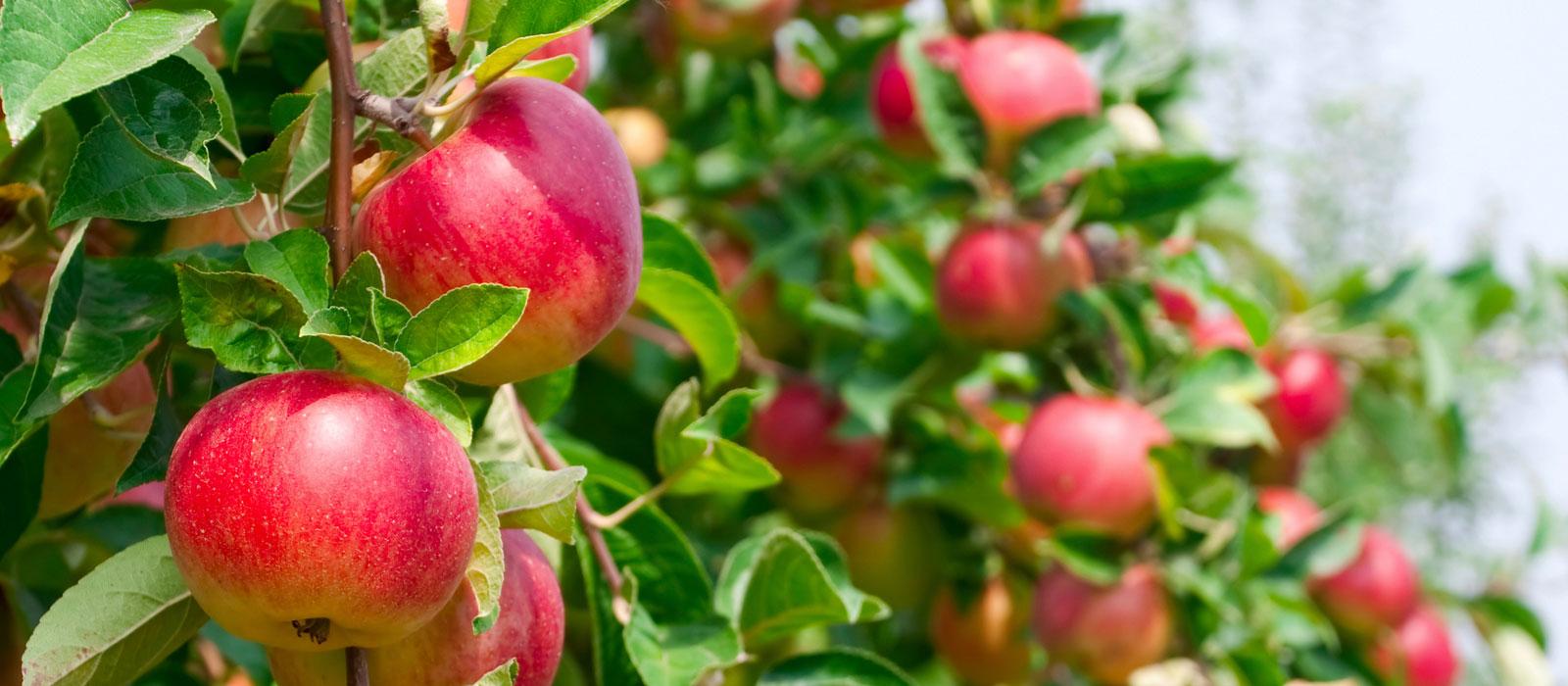 arbres fruitiers pépinière