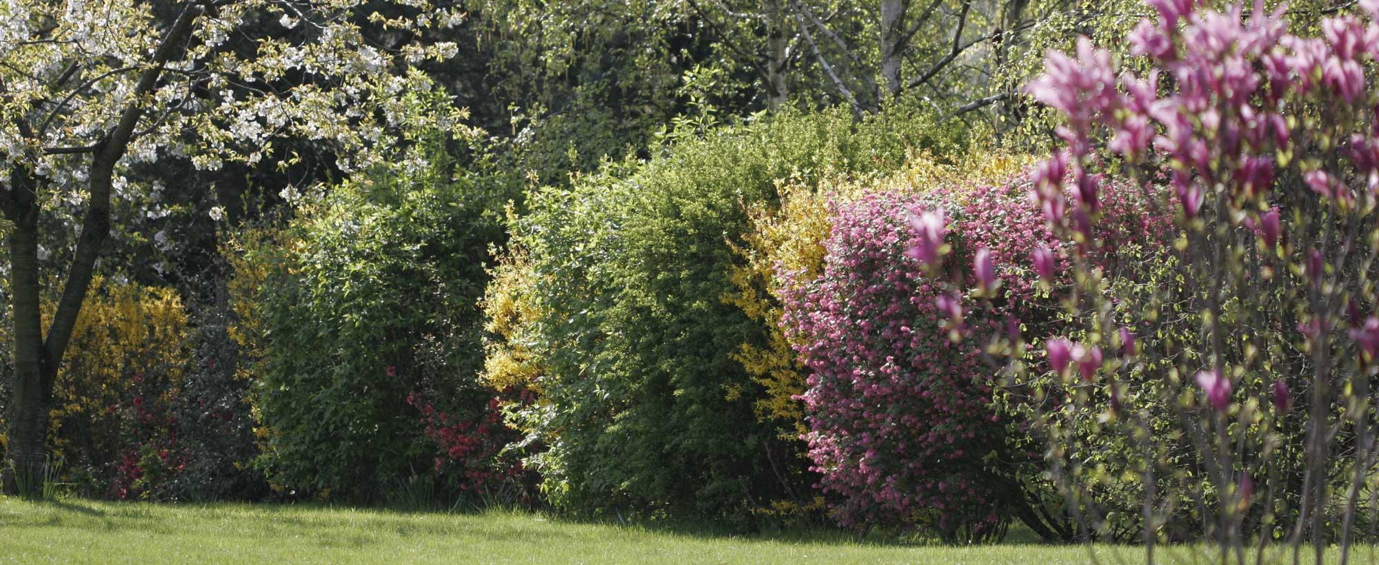 arbustes matures