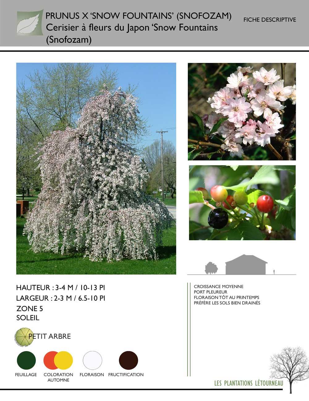 Hauteur Cerisier Du Japon prunus x 'snow fountains' (snofozam)cerisier à fleurs du